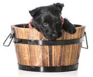 Scottish Terrier puppy Royalty Free Stock Photos