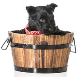 Scottish Terrier puppy Royalty Free Stock Photo