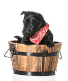 Scottish Terrier puppy Stock Photography