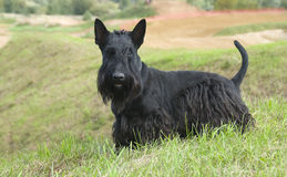 The Scottish Terrier (Scottie). Dog breed, bred in Scotland, used to hunt foxes and badgers and many burrowing animals stock photo