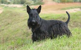 The Scottish Terrier (Scottie) Stock Photo