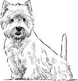 Scottish terrier sits. Vector drawing of a sitting white terrier royalty free illustration