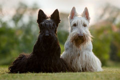 Scottish terrier, sitting on green grass lawn, flower forest in the background, Scotland, United Kingdom. Beautiful pair of black. And white animal Stock Photo