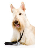 Scottish Terrier with a stethoscope on his neck. isolated on whi Royalty Free Stock Image