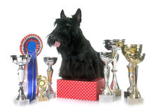 Scottish terrier and trophy Stock Images