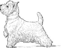 Scottish terrier. Vector drawing of a funny lap dog vector illustration