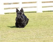 Scottish Terrier. A view of a small, young and beautiful Scottish Terrier dog walking on the grass. Scottie dogs are compact, short legged, with wiry black coat Stock Photography
