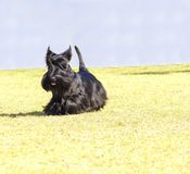 Scottish Terrier. A view of a small, young and beautiful Scottish Terrier dog walking on the grass. Scottie dogs are compact, short legged, with wiry black coat Royalty Free Stock Photography
