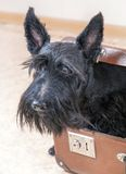 Scottish Terrier in vintage suitcase Royalty Free Stock Images
