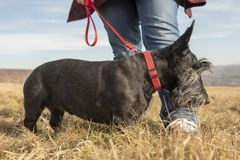 Scottish terrier on walk with owner. In field royalty free stock photo