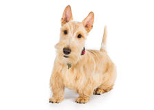 Scottish terrier. Wheaten Scottish terrier on a white backgroundn Royalty Free Stock Image