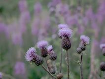 Scottish thistle stock photography