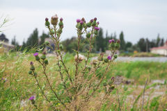 Scottish thistle bush on the field Royalty Free Stock Images