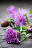 Scottish thistle flower Stock Images
