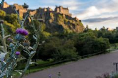 A Scottish Thistle seen in Princes Street Gardens with Edinburgh. A Scottish Thistle in the foreground as found in Princes Street Gardens with Edinburgh Castle royalty free stock photo