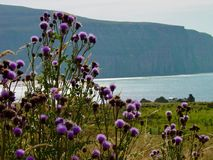 Scottish Thistle on Isle of Hoy Stock Photo