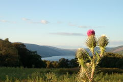 Scottish Thistle overlooking Loch Tay. A thistle, Scotland`s national emblem, overlooking the water of Loch Tay royalty free stock images