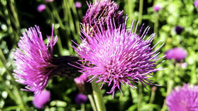 Scottish Thistle. Photo of Scottish thistle in sunshine Stock Photo