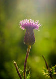 Scottish Thistle At Sunset Stock Photography