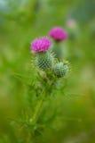 Scottish thistle Royalty Free Stock Images