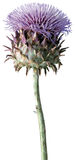 Scottish Thistle on white background Stock Images
