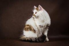 Scottish tortoiseshell and white straight kitten Royalty Free Stock Photos