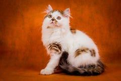 Scottish tortoiseshell and white straight kitten Royalty Free Stock Photo