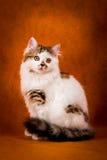 Scottish tortoiseshell and white straight kitten Stock Photography