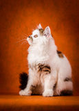 Scottish tortoiseshell and white straight kitten Royalty Free Stock Photography