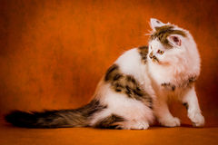 Scottish tortoiseshell and white straight kitten portrait. Stock Images