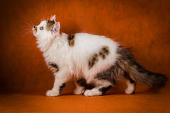 Scottish tortoiseshell and white straight kitten portrait. Stock Photography