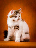 Scottish tortoiseshell and white straight kitten Stock Photo