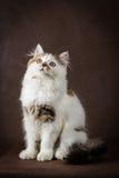 Scottish tortoiseshell and white straight kitten Stock Photos
