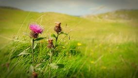 Thistle Do Nicely royalty free stock photos