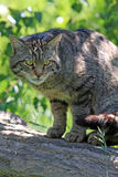 Scottish Wild cat. Scottish Wildcat on a tree branch and about to pounce royalty free stock photo