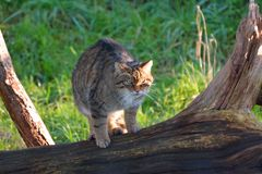Scottish wild cat Stock Images
