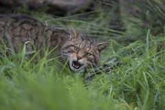 Scottish wild cat portrait Stock Images