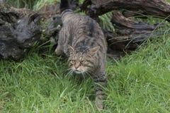 Scottish wild cat portrait Royalty Free Stock Photos