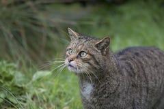Scottish wild cat portrait Royalty Free Stock Photo