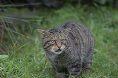 Scottish wild cat portrait Stock Image