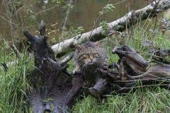 Scottish wild cat portrait Stock Photos