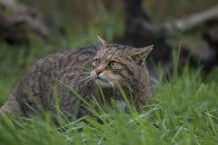 Scottish wild cat portrait Stock Photo