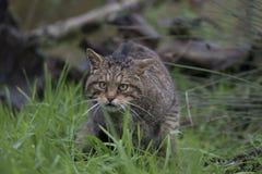 Scottish wild cat portrait Royalty Free Stock Images