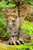 Scottish Wildcat. (Felis silvestris). The domestic cat is sometimes considered a subspecies of the wildcat. Genetic, morphological and archaeological evidence Stock Photos
