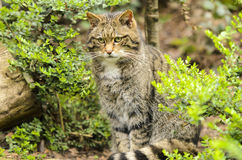 Scottish Wildcat. (Felis silvestris). The domestic cat is sometimes considered a subspecies of the wildcat. Genetic, morphological and archaeological evidence Royalty Free Stock Photos