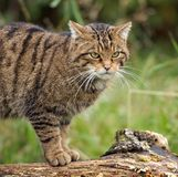Scottish Wildcat. A Scottish wildcat looking for food royalty free stock images