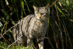 Scottish Wildcat Stock Photography