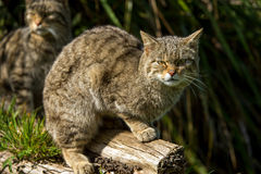Scottish Wildcat Royalty Free Stock Images