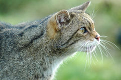 Scottish Wildcat Endangered wildlife. The wildcat is a true wild species of cat just like a tiger or leopard; it was here long before we were and long before the Stock Photo