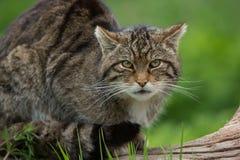 Free Scottish Wildcat Felis Silvestris Grampia Stock Photos - 82542383